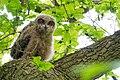 Hamburg DuvenstedterBrook owl nestling 3.jpg