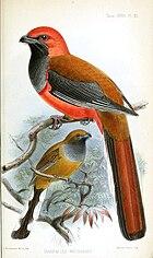 Изображение двух длиннохвостых птиц: одной коричневой с серым горлом и красно-оранжевой головой и низом тела, другой коричневой с серым горлом и большими белыми пятнами на подхвостье.