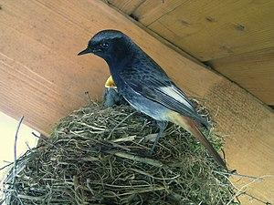 Black redstart - Male of subspecies Phoenicurus ochruros gibraltariensis at nest, Germany