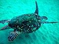 Hawksbill Turtle 1.jpg