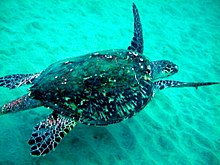 Photo of turtle swimming in shallow, green water