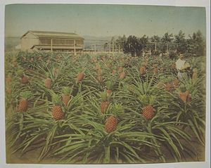 Christian Hedemann - Hawaiian pineapple field (tinted): Christian Hedemann (1880s)