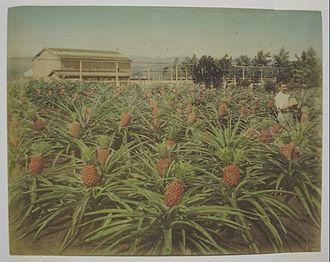 Christian Hedemann - Hawaiian pineapple field (tinted): Christian Hedemann (1880s)