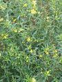 Heimia salicifolia (10650328365).jpg