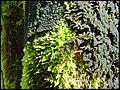 Helfaut avril 2001 algues mousses épiphytes.jpg