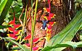 Heliconia velutina (5699723471).jpg