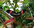 Heliconius melpomene - Flickr - gailhampshire.jpg