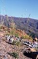 Helictochloa levis (Hackel) Romero Zarco - Sierra Nevada (Granada, España).jpg