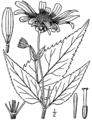 Heliopsis helianthoides-linedrawing.png