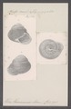 Helix hainanensis - - Print - Iconographia Zoologica - Special Collections University of Amsterdam - UBAINV0274 089 01 0083.tif