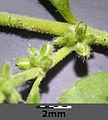 Herniaria hirsuta sl6.jpg