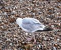 Herring Gull 019.JPG