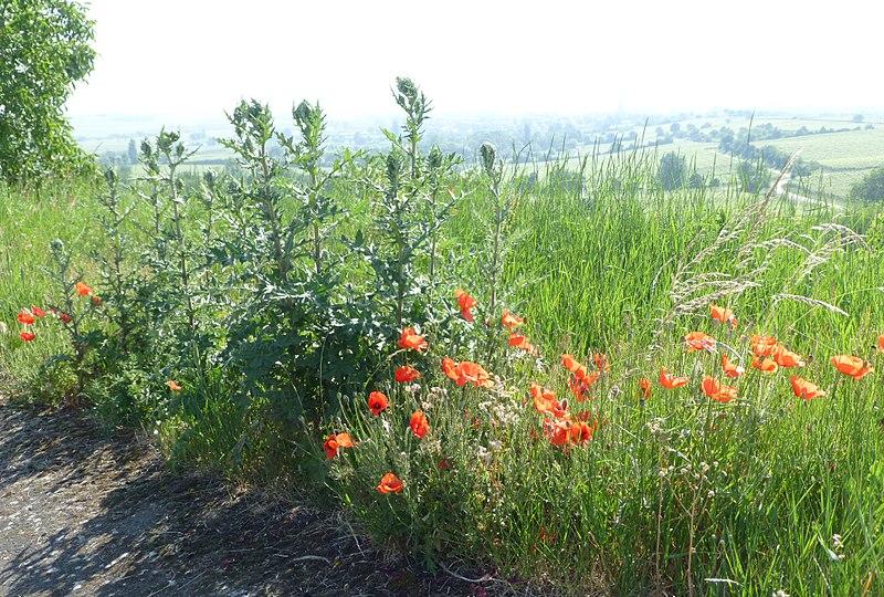 File:Herxheim am Berg Felsenberg-Berntal Nature Reserve thistles 041.jpg