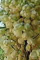 Hesperoyucca whipplei kz01.jpg