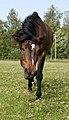 Hevoset kesälaitumella 6.jpg