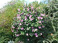Hibiscus syriacus 2018-07-08 3730.jpg