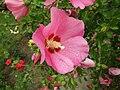 Hibiscus syriacus red.jpg
