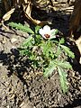 Hibiscus trionum sl24.jpg