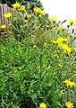 Hieracium laevigatum Willd. (7608628280).jpg