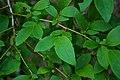 Highbush Blueberry Vaccinium corymbosum Leaves 3008px.jpg