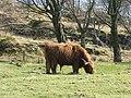 Highland Bull - geograph.org.uk - 405067.jpg