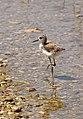 Himantopus himantopus fledgling-pjt-1.jpg