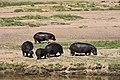 Hippo, Ruaha National Park (18) (28740998285).jpg