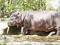 Hippopotamus (4).jpg