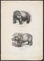 Hippopotamus amphibius - 1700-1880 - Print - Iconographia Zoologica - Special Collections University of Amsterdam - UBA01 IZ21900064.tif