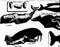 Histoire naturelle de l'Islande, du Groenland, du détroit de Davis, et d'autres pays situés sous le Nord (microforme) (1750) (20616617472).jpg