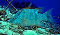 Hogfish outside Puerto Morelos2.jpg