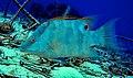 Hogfish outside Puerto Morelos2.jpg