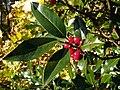 Holly (Ilex aquifolium) leaves and fruits (8258341164).jpg