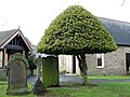 Holly topiary in St Cuthbert's churchyard - geograph.org.uk - 627181.jpg