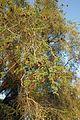 Homeb-Faidherbia albida (2).jpg