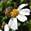 Honey Bee and Bidens Alba (8465767847).jpg