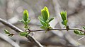Honeysuckle (Lonicera sp.) - Kitchener, Ontario.jpg
