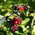 Honeysuckle berries - Flickr - gailhampshire.jpg