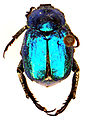 Hoplia coerulea 739x1000.jpg