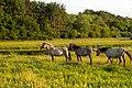 Horses (20362276969).jpg