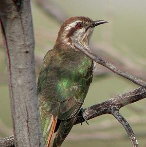 Horsfield's bronze cuckoo - Image: Horsfield's Bronze Cuckoo Newhaven