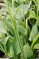 Hosta fortunei Hyacinthina 2zz.jpg