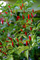 Hot Pepper! (2303332401).jpg