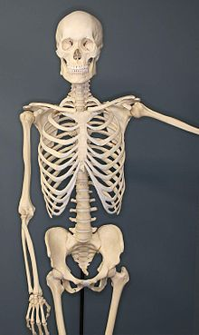Human-Skeleton., From WikimediaPhotos