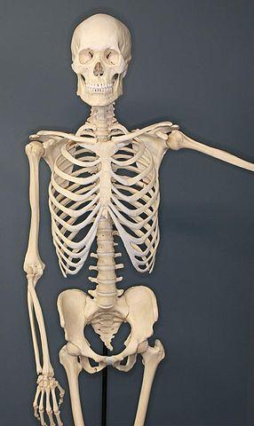 file:human-skeleton - wikimedia commons, Skeleton