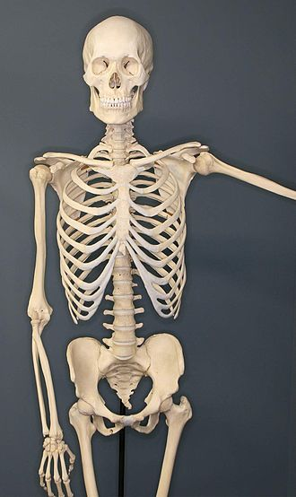 Human skeleton - A human skeleton on exhibit at the Museum of Osteology, Oklahoma City, Oklahoma
