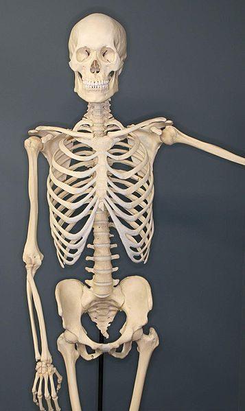 File:Human-Skeleton.jpg