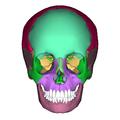 Human skull - anterior view2.png