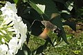 Hummingbird hawk-moth (NH327) (11129323044).jpg