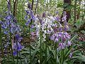 Hyacinthoides ×massartiana , 3 couleurs.jpg